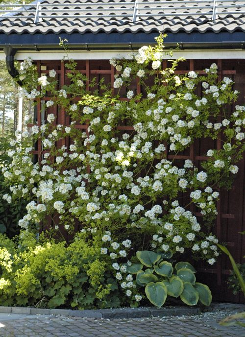 Rosa helenae hybrida, Alchemilla mollis and Hosta. http://oanat.se/2014/07/underbart-ar-kort/