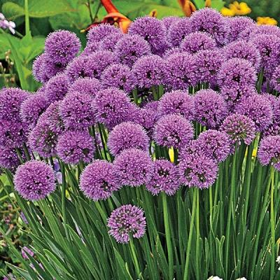Millenium Allium 20 H X 10 15 W This Amazing Spreading Allium Creates A Sensation In The Mid In 2020 Flower Garden Plans Perennial Garden Plans Long Lasting Flower
