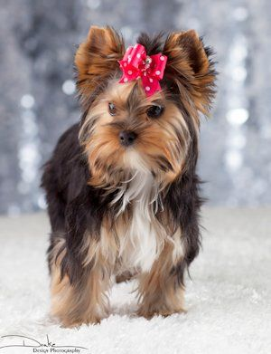 Traditional With White Chin Chest Yorkie Yorkie Puppy Yorkshire Terrier