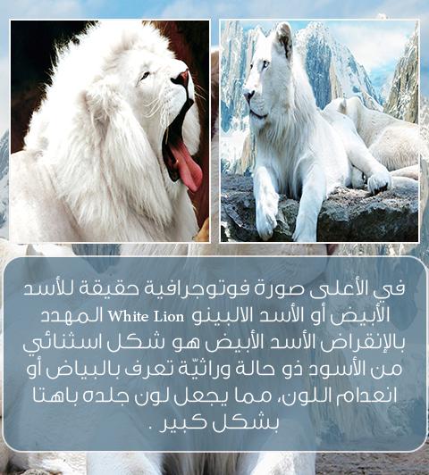 5 معلومات غريبة عن الأسود فتاة اتيوبية حيوان لوبون أسد الثلج Polar Bear Lion White Lion