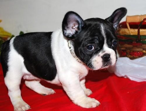 Please Ryan Cute French Bulldog Cute French Bulldog Cute