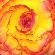 Begonia Care in Winter   eHow