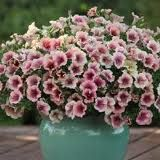 Not your mother's petunia...Vintage Rose blooms all summer and fills any pot!