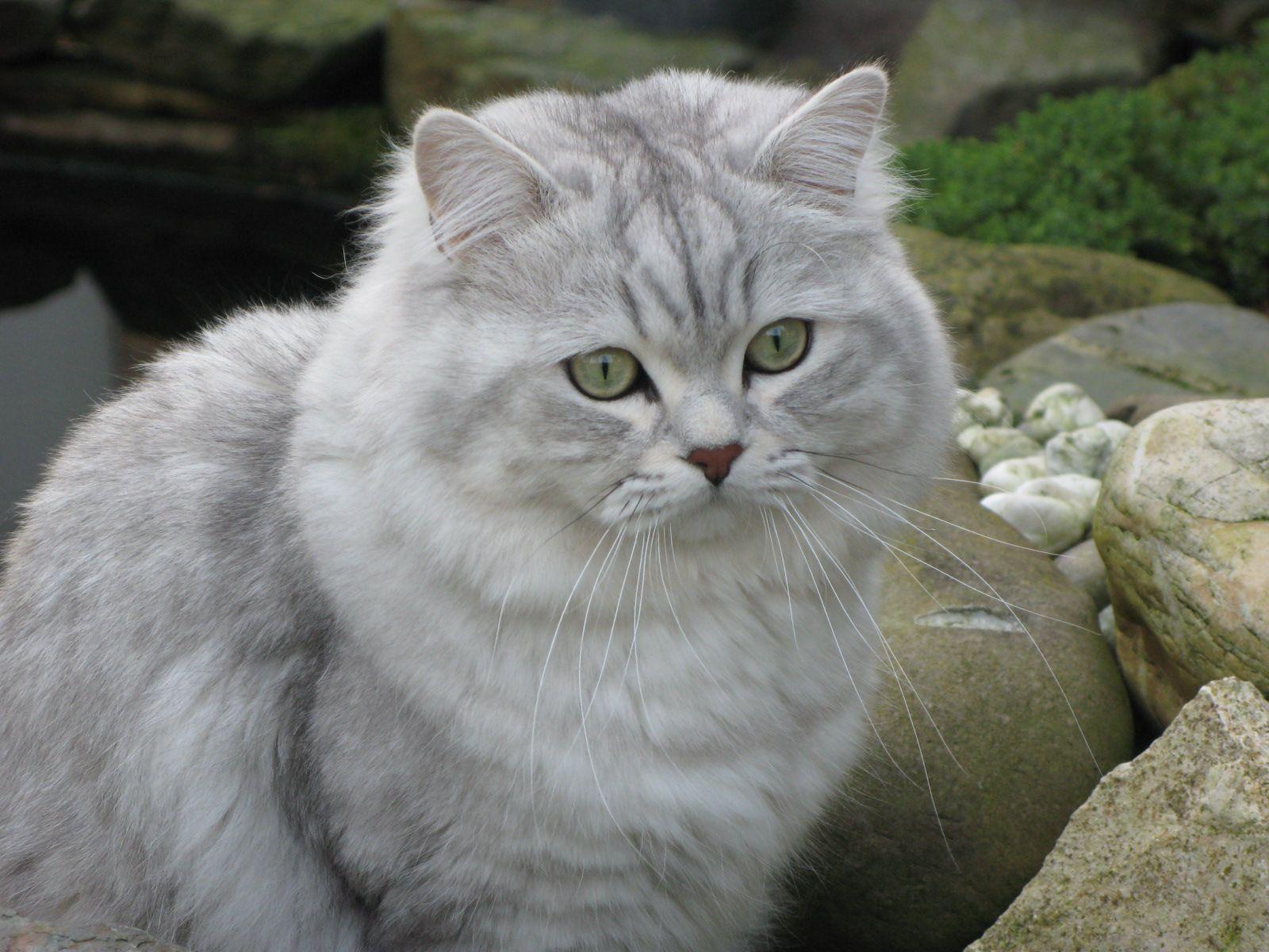 cats biiyah British Longhair Cats Cats, Types of cats