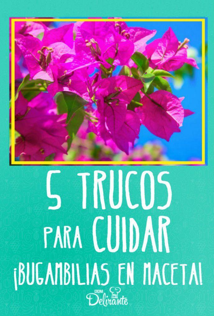 5 trucos para cuidar bugambilias en maceta y tenerlas hermosas