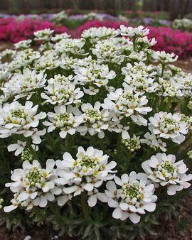 Iberis Sempervirens Autumn Beauty Flowers Perennials Perennials Edging Plants