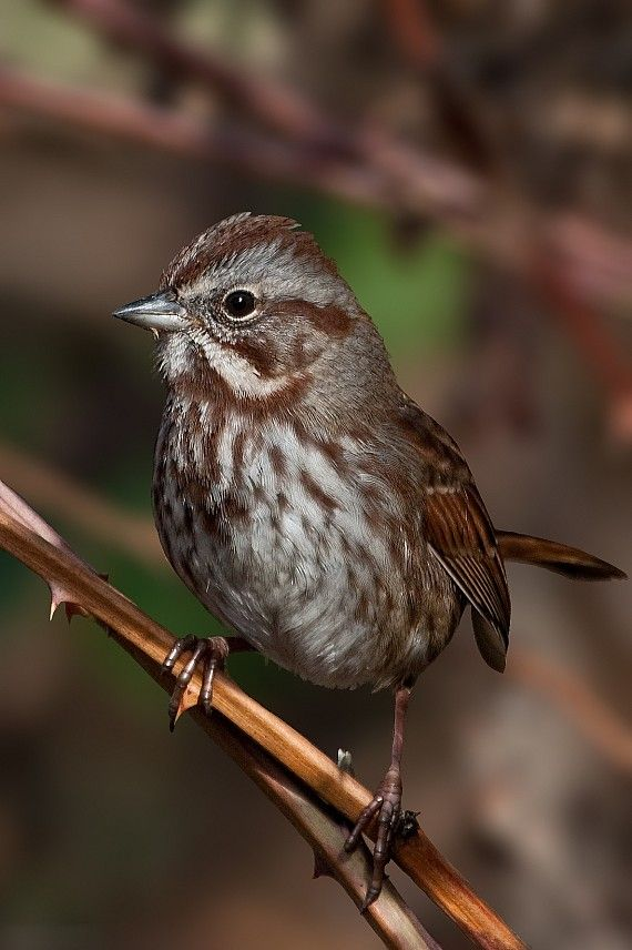 The Song Sparrow is one of the most common sparrows in ...