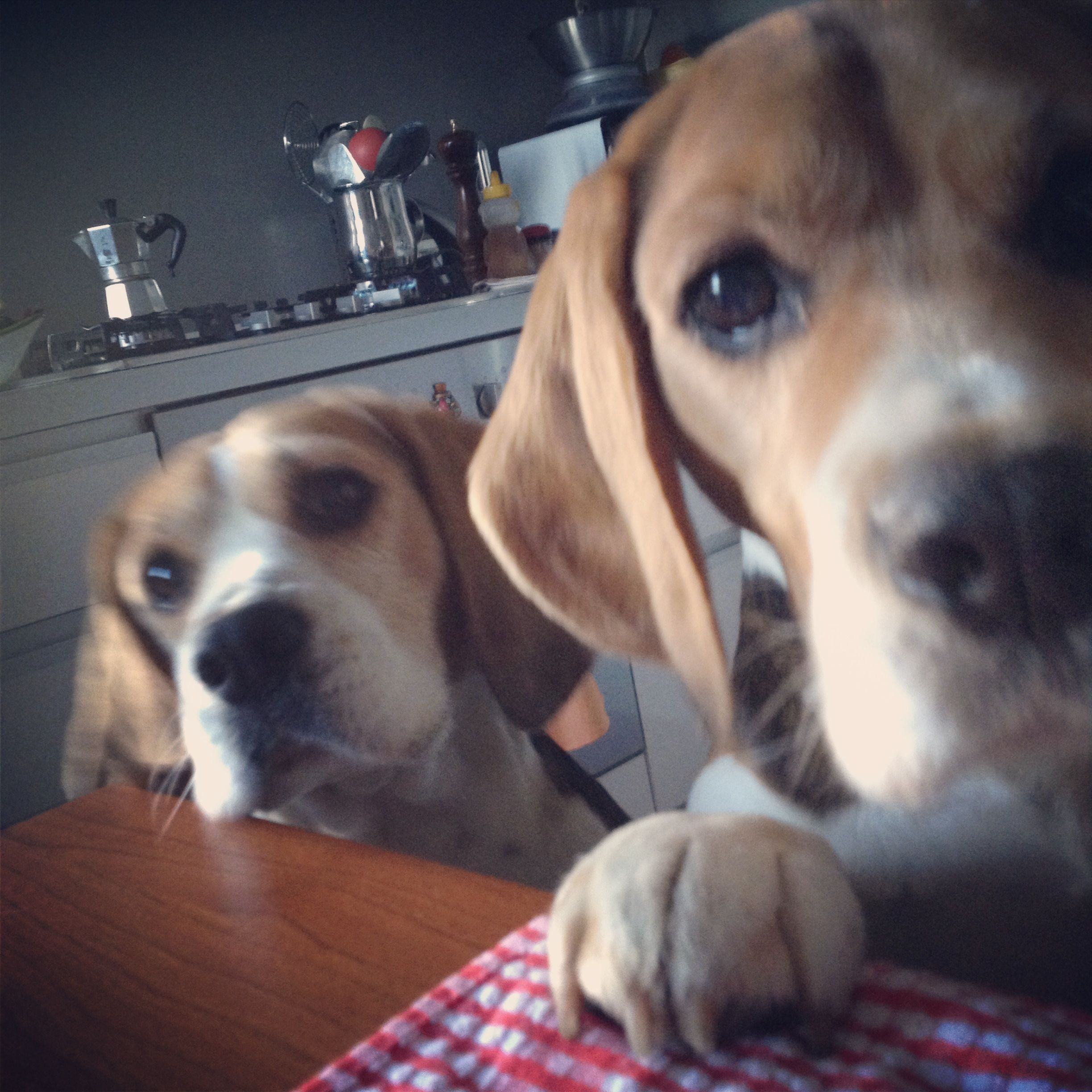 Beagles R Best In Pairs Beagle Dogs Beagle Beagle Puppy