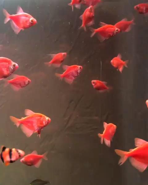 Best Light For Glofish The Pet Supply Guy Video Video Fish Wallpaper Live Wallpaper Iphone Flower Phone Wallpaper