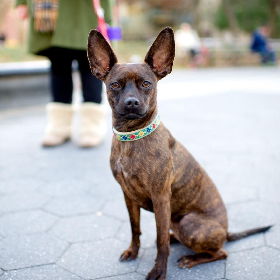 Penny, Miniature Pinscher/Boston Terrier mix (1 y/o