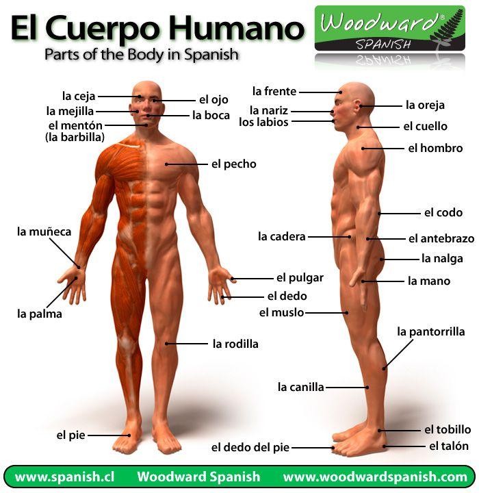 Partes del Cuerpo Humano en Español   Work   Pinterest   Spanish ...