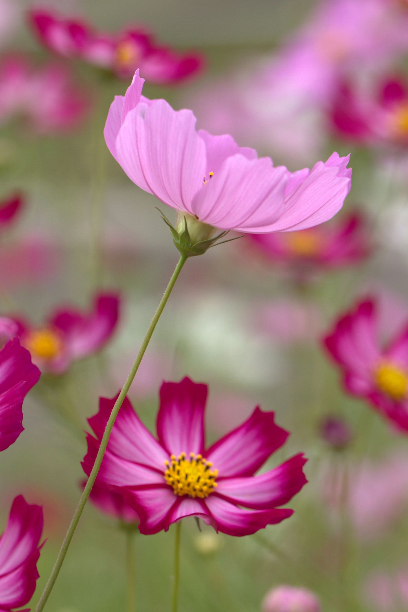 Happy Cosmos 2 By Fumie Lorenzo Flowers Breathtaking Cosmos