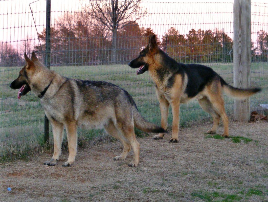 king shepherd dog photo | ... Mine, MI - Ziply Classifieds (Dogs / Puppies) - (528x400 - 23kB