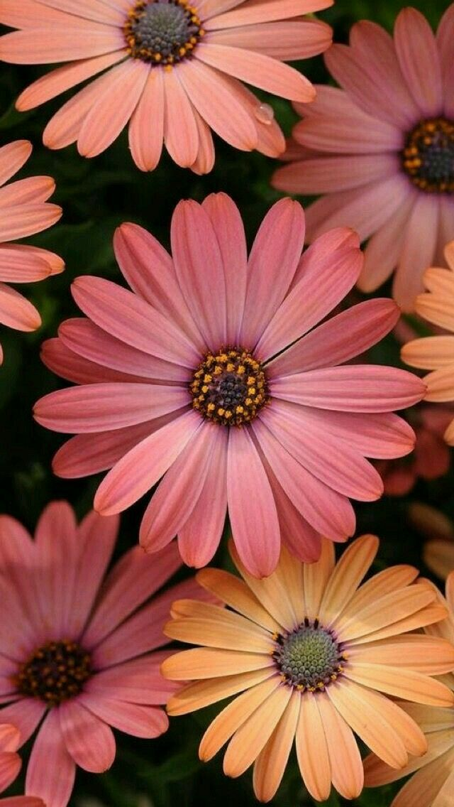Gerbera Most Beautiful Flowers Beautiful Flowers