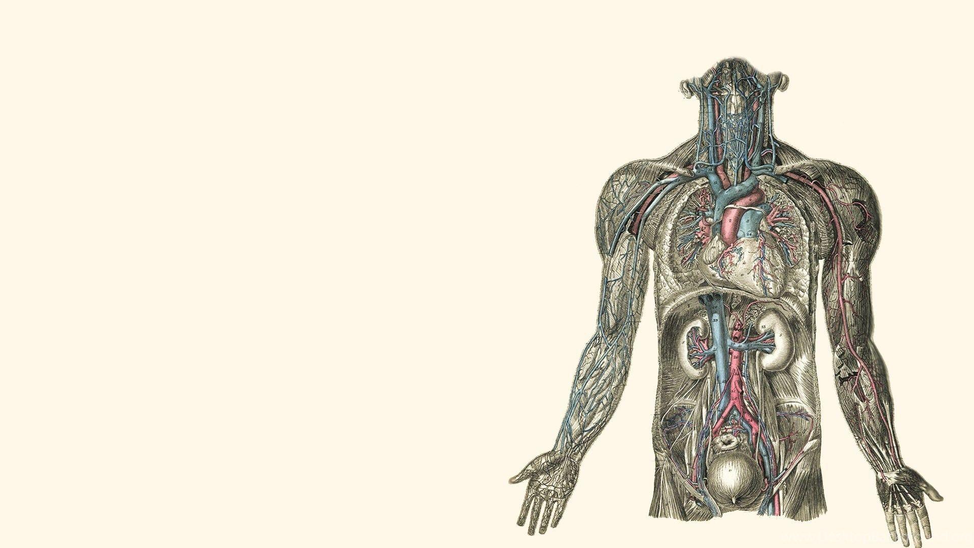 Human Muscle Cell Diagram Human Anatomy Study Human Body Anatomy