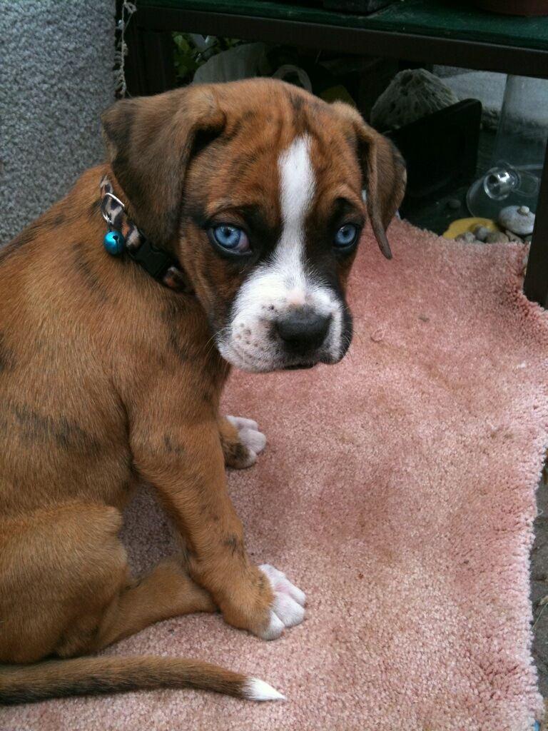 Boxer Forum : Boxer Breed Dog Forums | boxers | Pinterest ...