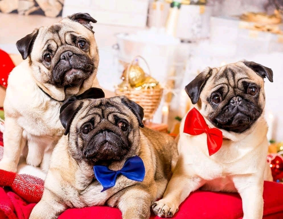 Pugdog Marusya With Triple Pug Cuteness For You Seriously How