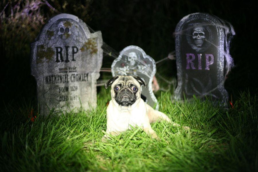 My own pug - Sumi the Graveyard Pug.