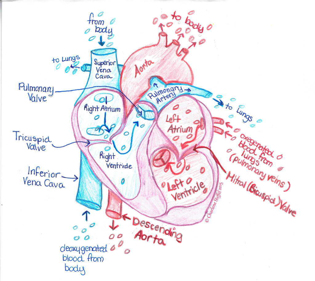 Color heart diagram (Görüntüler ile)   Tıbbi, Tıp, Anatomi