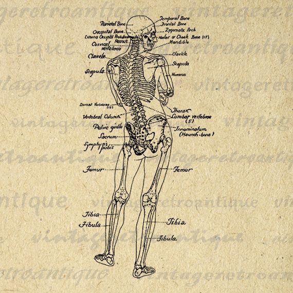 Printable human skeleton diagram graphic download image vintage printable human skeleton diagram graphic download image ccuart Choice Image