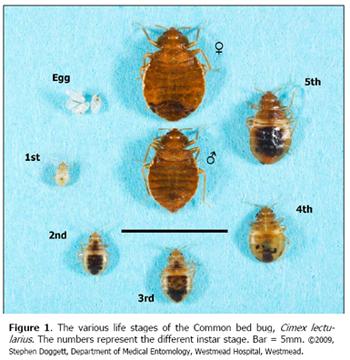 malefemalebedbuglifecycle1.png (350×360) Bed bugs