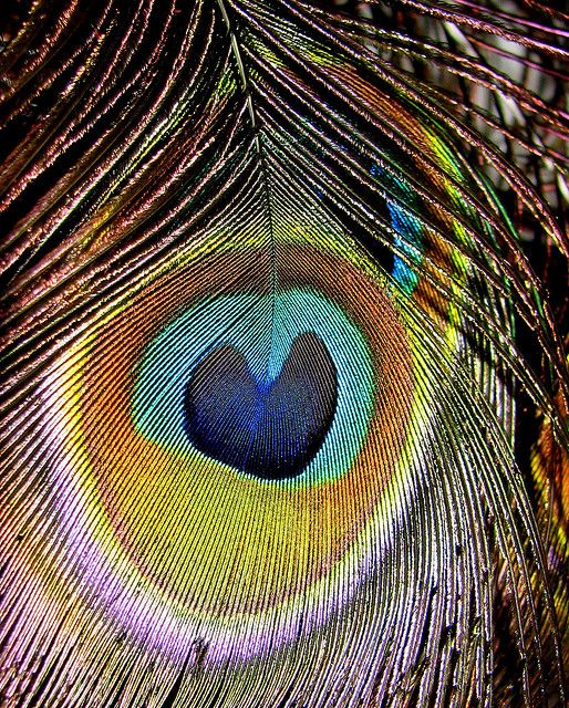 Heart in a Feather! | ~Peacock Feather Obsession~ | Peacock