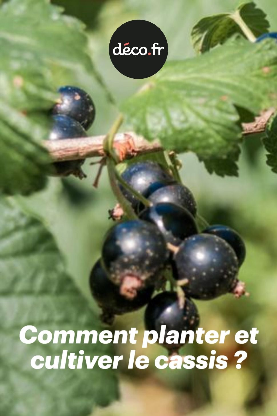 Idee Par Bouchelit Sur Jadin En 2020 Comment Planter Le Cassis