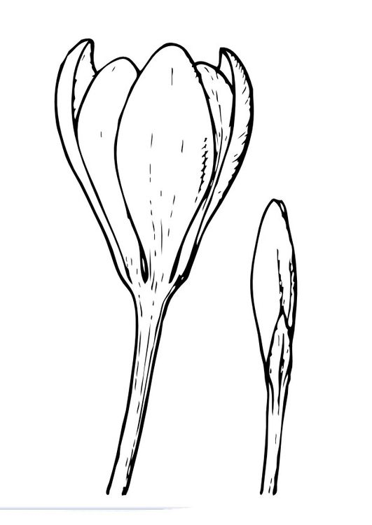 Coloring Page Crokus Img 9984 Coloring Pages Flower Drawing Crocus Flower
