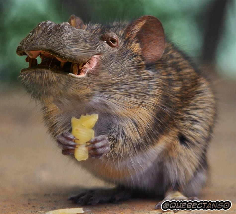 Hippopotamouse - so much worse than a normal mouse. For this I WOULD stand on the chair! Yuck!