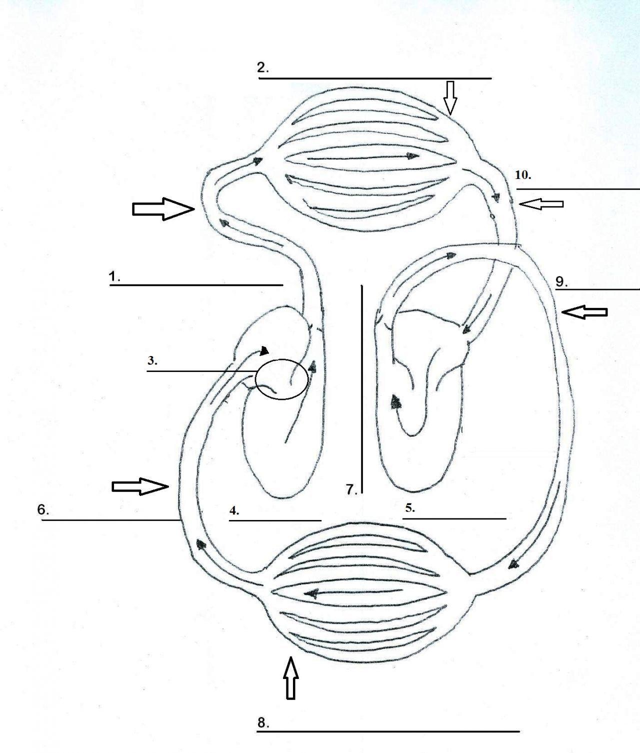 Image Result For Blank Circulatory System Diagram Circulatory