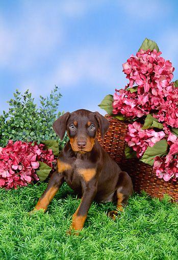 Pup 29 Fa0001 01 C Kimball Stock Doberman Pinscher Puppy Sitting