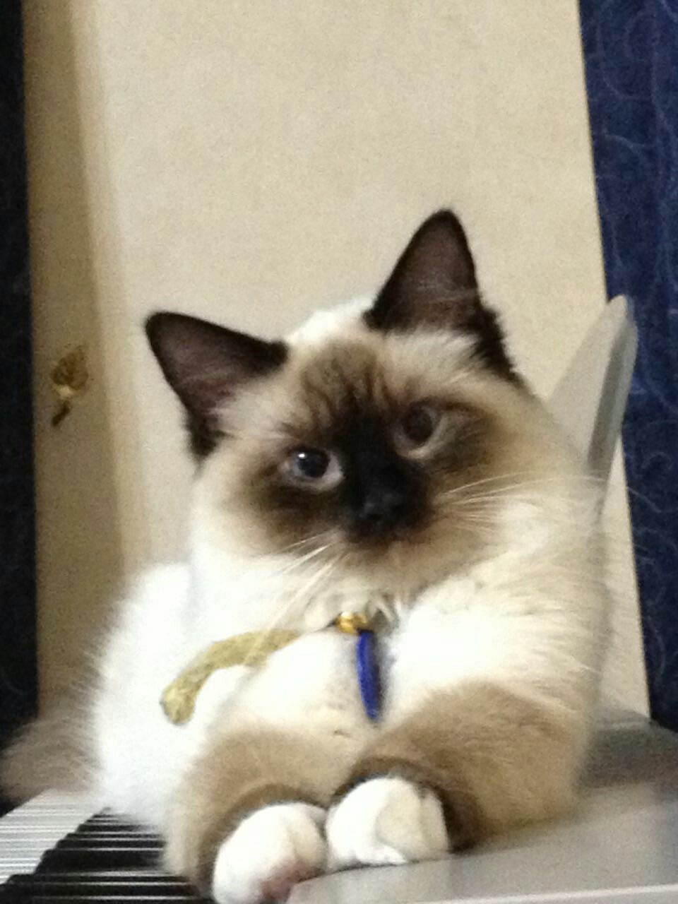Chocolate Mitten Ragdoll Ragdollcatschocolate Ragdoll Cat Cats Birman Kittens For Sale