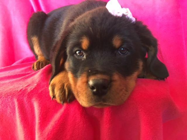 Tumblr In 2020 Rottweiler Puppies For Sale Rottweiler Puppies Training Your Dog