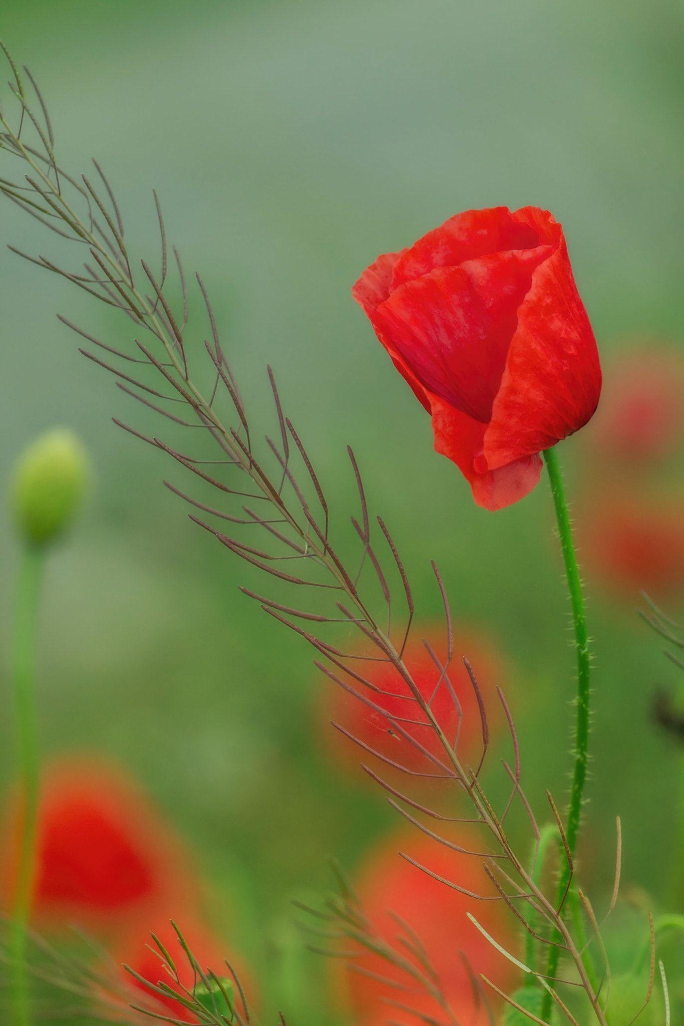 Poppy Null Mohnblume Mohn Blumen