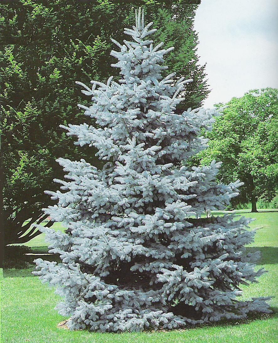 zone 3 spruce Hoopsii Blue Spruce Out Side Decor Pinterest