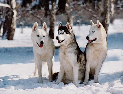 What Is The Oldest Breed Of Dog Dog Breeds Husky Siberian