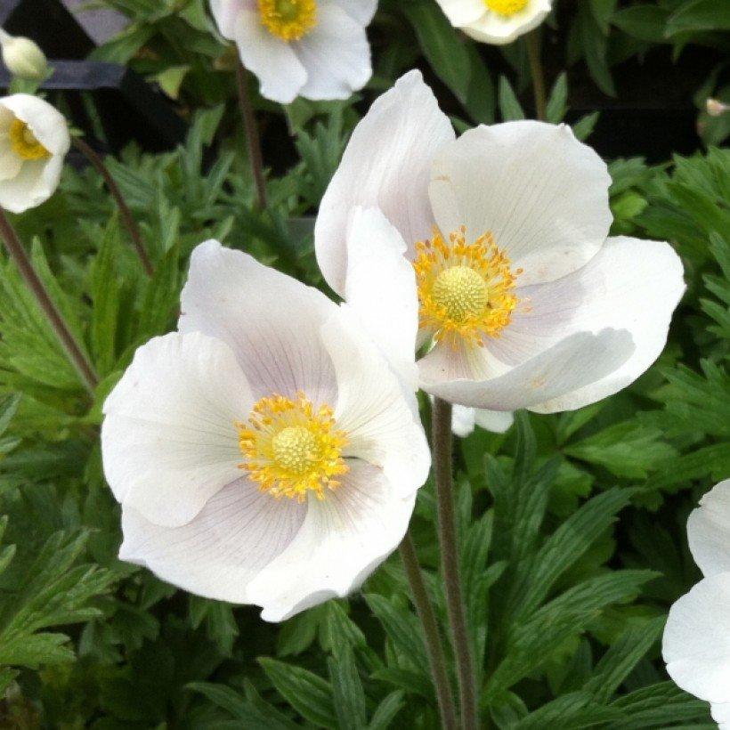 Anemone sylvestris – Anémone sauvage à fleurs blanches. en 2020 | Fleurs  vivaces blanches, Fleurs blanches, Fleurs vivaces
