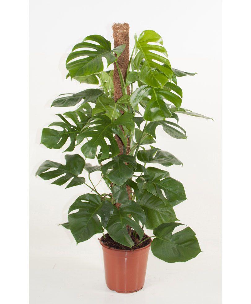 Climbing Monstera Plant