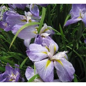 Iris ensata 'Aquamarin' - Iris du japon. Iris de bord de berge qui a un feuillage vert. Floraison bleue.