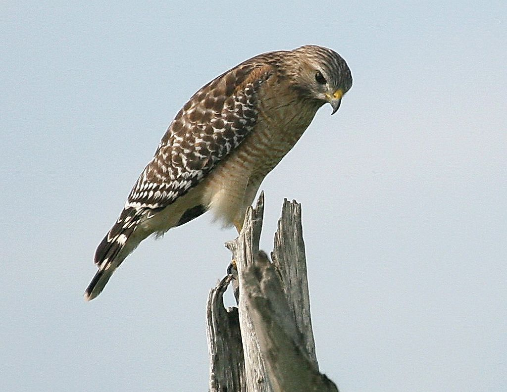 Red Shouldered Hawk Wetland Delray Beach Florida Bald Eagle