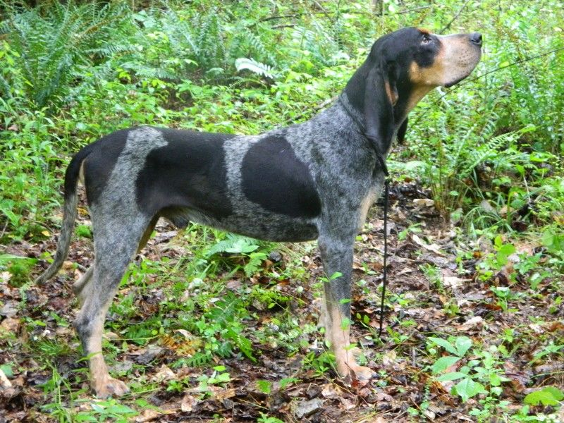 black and tan coonhound photo Coonhound Puppies
