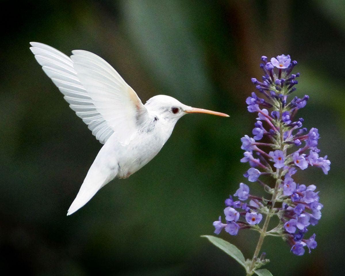 Amazing photographs of rare white animals Hummingbird