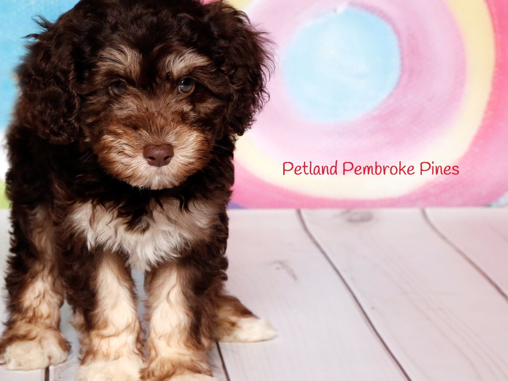 A Schnoodle Is An Adorable Lifetime Friend Always By Your Side To Bring You Joy And Happiness Find Your Perfect Match At Petl Puppy Friends Schnoodle Puppies