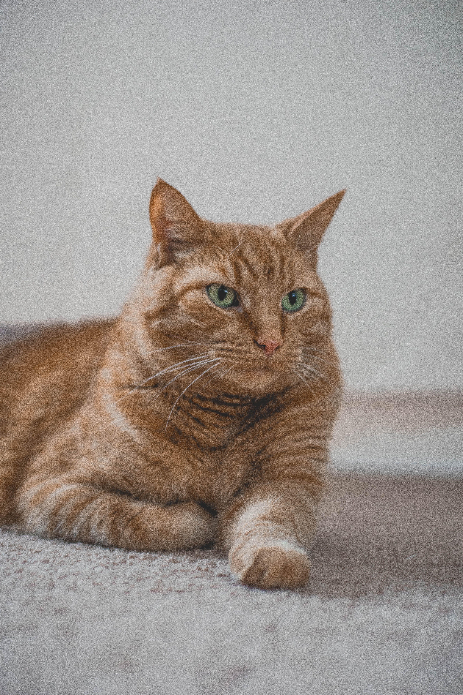 5 Impressive Cat Snapshots Orange Tabby Cat Lying On Gray Textile Animal Pet Cat In 2020 Cat Pics White Tabby Cat Orange Tabby Cats