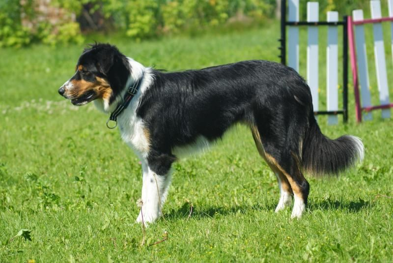 Meet Jax A Petfinder Adoptable Border Collie Dog Bowmanville