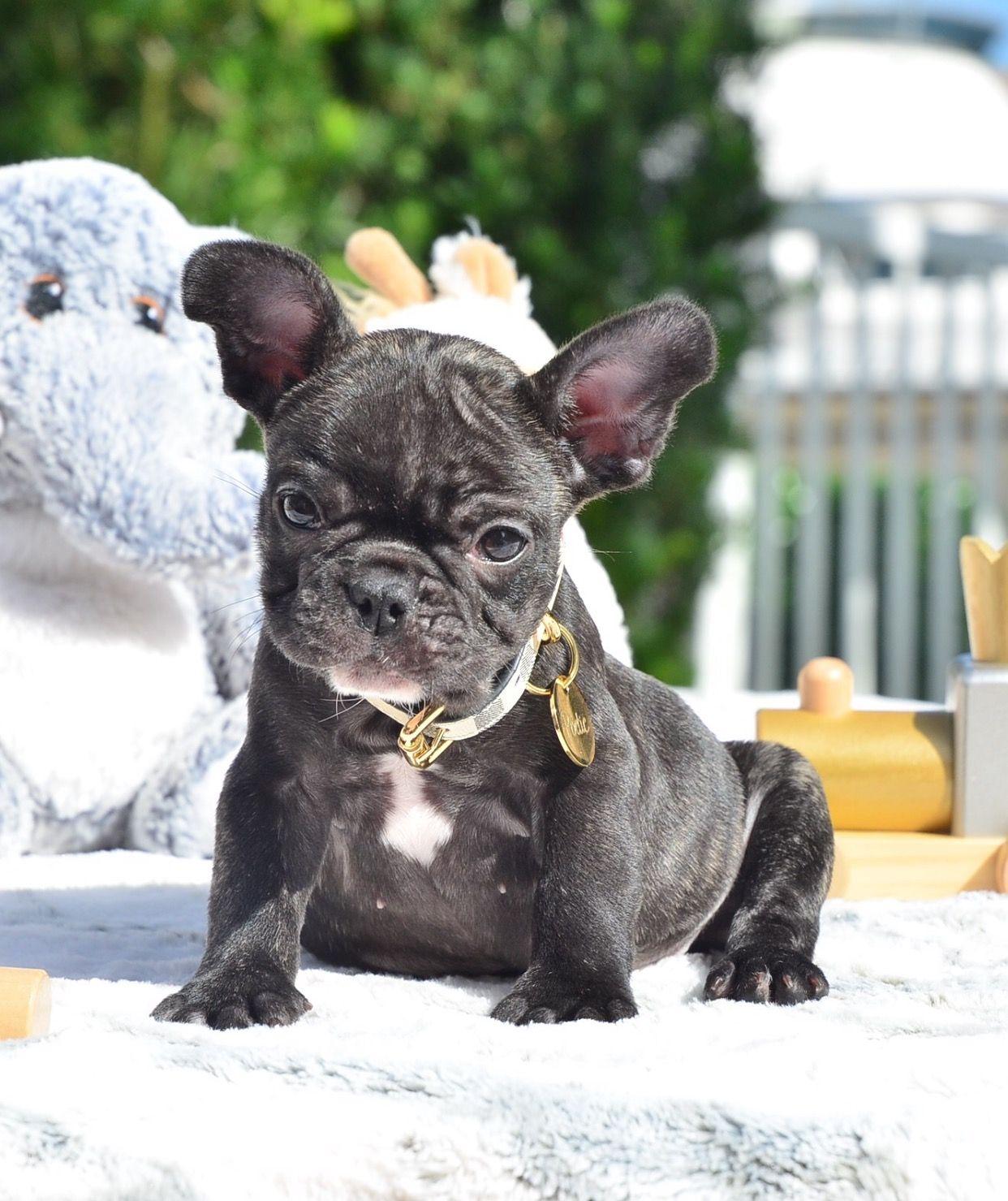 Tiny Black Brindle Boy Www Poeticfrenchbulldogs Com