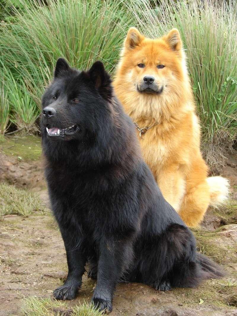 Eurasiers Boules de poils Pinterest Eurasier, Dog