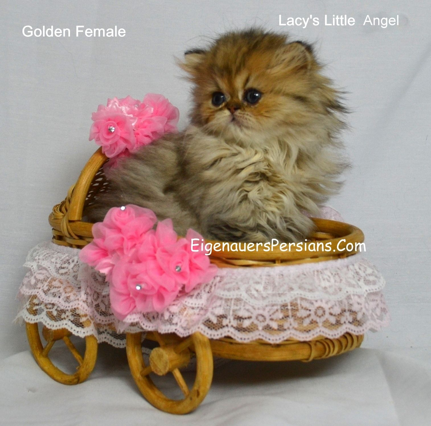 Dollface Persian Kitten,[Baby Persians][Tea Cup Persian