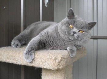 Pin By Richard Ainsworth On British Shorthair Cats 1 Cat Breeds British Shorthair Cats