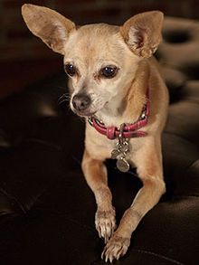 Gidget The Taco Bell Chihuahua Aka Bruiser S Mom From Legally
